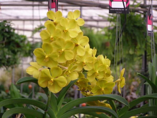 Vanda - Orquídea aérea