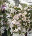 Dendrobium Nobile blanco