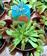Dionaea - Venus atrapamoscas