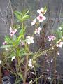 Melocotón Tropic B. en flor
