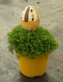 Selaginella de Pascua