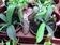 Nepenthe Sanguinea