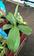 Nepenthe Alata