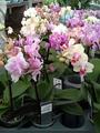 Phalaenopsis Little Lady