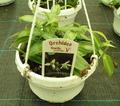 Vainilla Planifolia