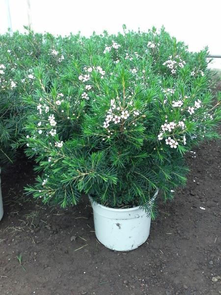 Arbustos viveros rocha vivero de plantas y flores las for Viveros gran canaria