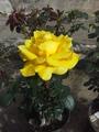 Rosa flor grande.