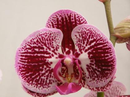 Phalaenopsis serie especial