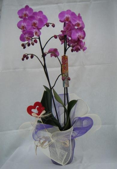 Phalaenopsis 2 varas m12 70 cm regalo