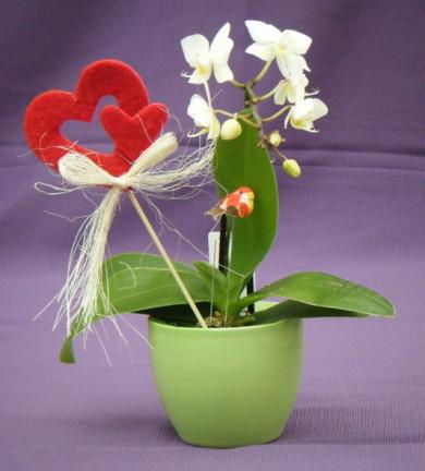 Phalaenopsis Calimero m6 20 cm en maceta de cerámica