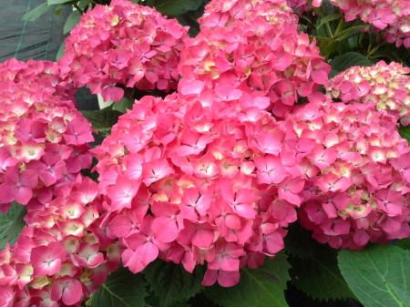 Hortensia - Flor de mundo