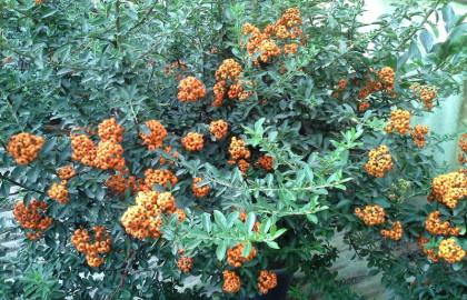 Ir a Arbustos - Pyracanta